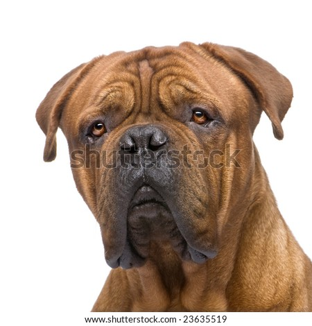 Dogue de Bordeaux (2 years) in front of a white background #23635519