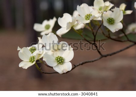Dogwood blossoms on branch.  Shallow depth of field