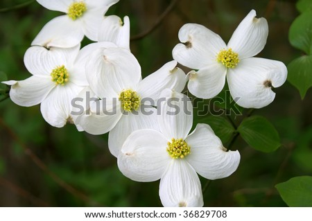 Dogwood Branch in Bloom Horizontal, State flower of Virginia and North Carolina
