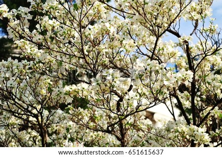 Dogwood Tree Blossom Ez Canvas