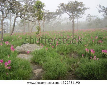 Dok Krachiao flowers or Siam Tulip at Sai Thong National Park , Chaiyaphum Thailand. Siam Tulip festival.