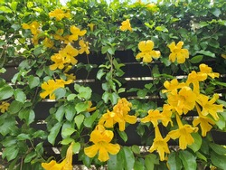 Dolichandra unguis-cati, yellow horn-shaped flowers Characteristics are many years old vines. Is native to Central America to South America.