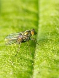 Dolichopodidae, Fly, Diptera, Insect, Macro