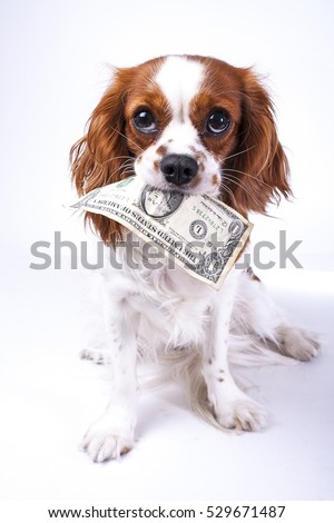 Dollar bill illustration. Dog with dollar illustrate animal costs. Spaniel dog with money. Pure bred cavalier king charles spaniel trained dog love to work. ストックフォト ©
