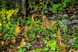 Dolly Sods in Monongahela National Forest with colorful yellow brown and green foliage on fern plants in autumn fall season in West Virginia forest floor closeup