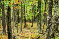 Dolly Sods, West Virginia autumn fall green tree forest with bokeh backgorund and trunks of trees with colorful foliage in woods