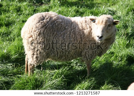 Dolly the sheep look-a-like Stock photo ©