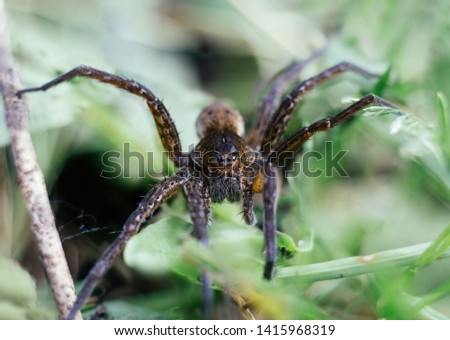 Dolomedes fimbriatus, fishing spider, raft spider, water spider, pisaura in grass on green background. Big spider, lives near the water. Insects are predators. Macro, close up, front view. #1415968319