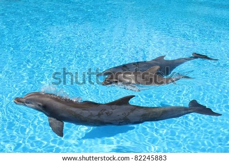 Dolphin family swimming Mother with baby in clear blue water.