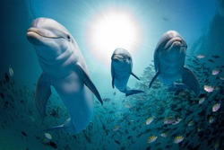 dolphin family underwater on reef background looking at you