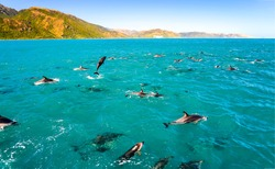 Dolphin group jumping swimming in ocean. Dolphins in sea. Dolphins swimming and jumping
