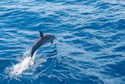 Dolphin jumps out of water a long side liveaboard