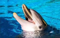 Dolphin smile in water. Cute dolphin smiling. Dolphin portrait