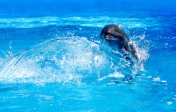 Dolphin swim in water scene. Dolphin in water. Splash water dolphin swim