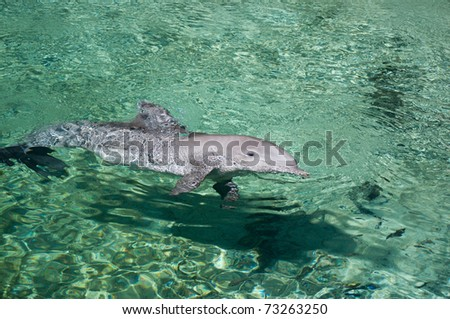 Dolphin swimming in clear shallow tropical waters.