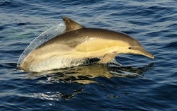Dolphin, swimming in the ocean  and hunting for fish. The jumping dolphin comes up from water. The Long-beaked common dolphin (scientific name: Delphinus capensis) swim in atlantic ocean.