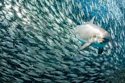 dolphin underwater on reef background looking at you inside a school of sardine fish