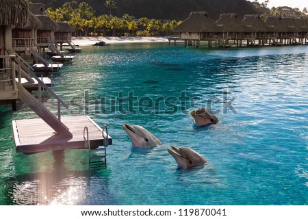 Stock Photo Dolphins in a bay of the tropical island, near houses on piles