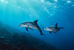 Dolphins in the sea