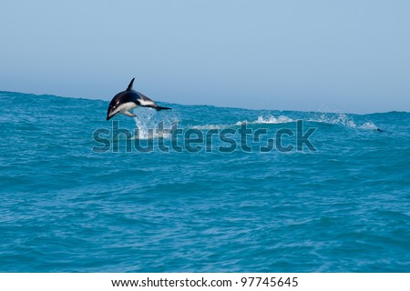 Dolphins in the sea, New Zealand