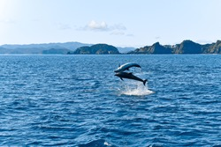 Dolphins jumping high in the ocean, New Zealand