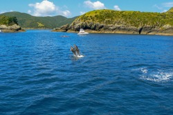 Dolphins jumping out of the water in the Bay of Islands, North Island, New Zealand