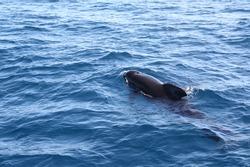 Dolphins photographed in the Gibraltar strait, off the coast of Tarifa, Cadiz, Spain.