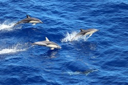 Dolphins swimming and jumping in the ocean. Common dolphin Delphinus delphis in natural habitat. Marine mammal in Norht Pacific ocean.