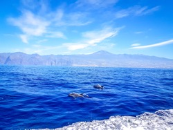 Dolphins swimming in the Atlantic Ocean in front of Los Gigantes, Canary Islands, Tenerife