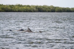 Dolphins Swimming in the Indian River Lagoon in Vero Beach, Florida seen while boating. Treasure Coast nature and wildlife.