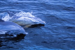 Dolphins swimming in the Peace River