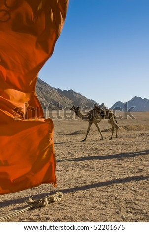 Domedary camel with red flag in the foreground. Sharm el Sheikh, Red Sea, Egypt.
