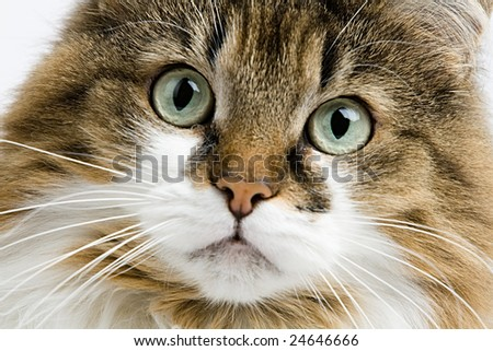 Domestic animal house cat
