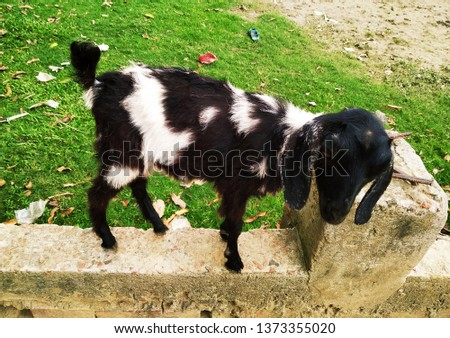 Domestic Animal Photography - The Goat #1373355020