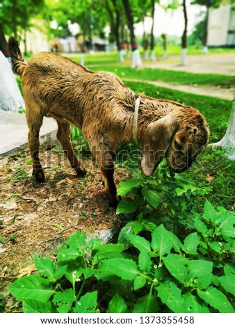 Domestic Animal Photography - The Goat #1373355458