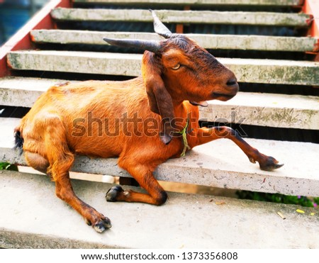 Domestic Animal Photography - The Goat #1373356808
