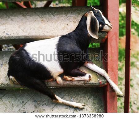 Domestic Animal Photography - The Goat Is Sleeping  #1373358980