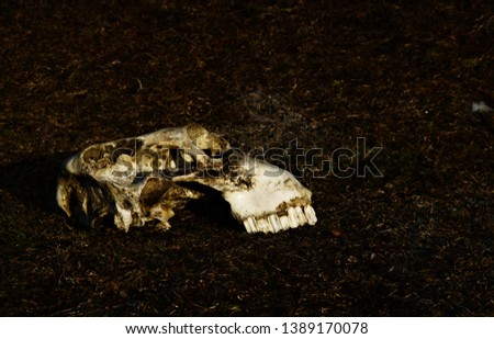 domestic animal skull isolated on the ground #1389170078