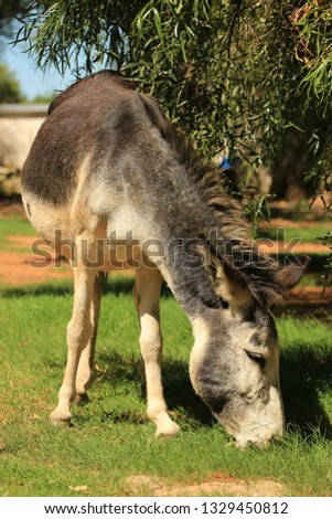 Domestic animals - a grey donkey grazing #1329450812