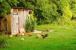 Domestic animals in farmyard