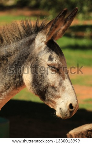 Domestic animals - portrait of a young donkey #1330013999