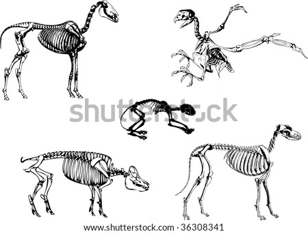Domestic animals skeleton, can be used to for medical or educational.