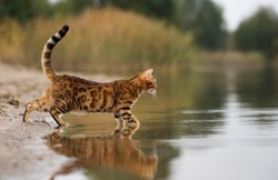 Domestic Bengal cat hunting on the lake.