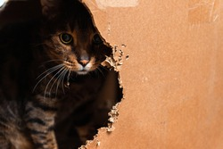 Domestic Bengal cat sitting in a cardboard box and peeking out of it.