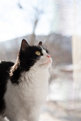 Domestic black-and-white cat, a protective net on the window, the cat is safe, will not fall out of the window. The cat looks up, hunts the bird, cat looks out the window. Mosquito net on the window.