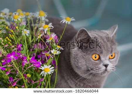 Domestic blue Shorthair cat and a bouquet of flowers. Wary cat in the house. Zdjęcia stock ©