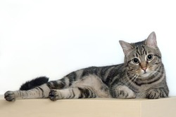 Domestic brindle cat lying on a white background
