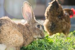 Domestic brown rabbit eating grass behind a hen
