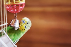 Domestic budgie sitting with his toy friend.  A green Budgerigar