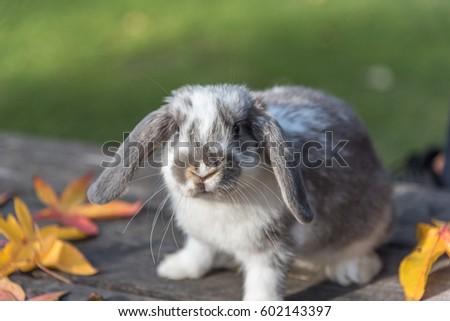 domestic bunny rabbit on the...